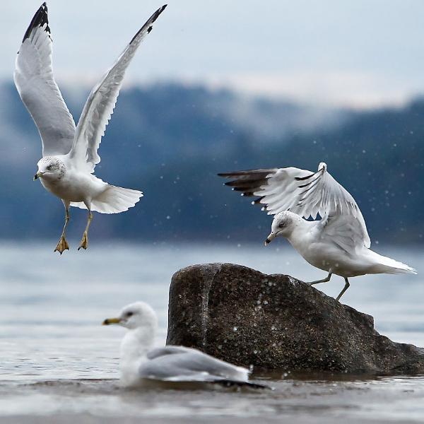 CDA Seagulls